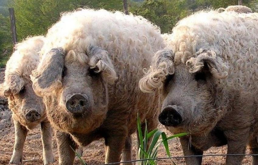 The pig that looks like a sheep saved from slaughter