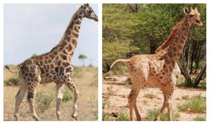 The incredible discovery of a dwarf giraffe