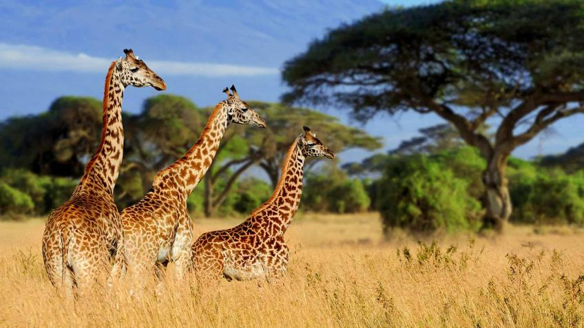 Endangered giraffes: what can we do