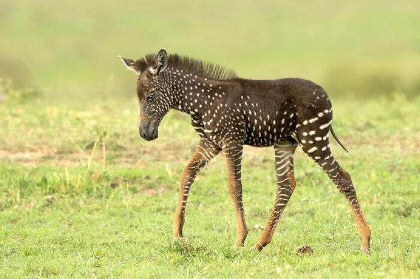 Find zebras with polka dots and with a golden coat