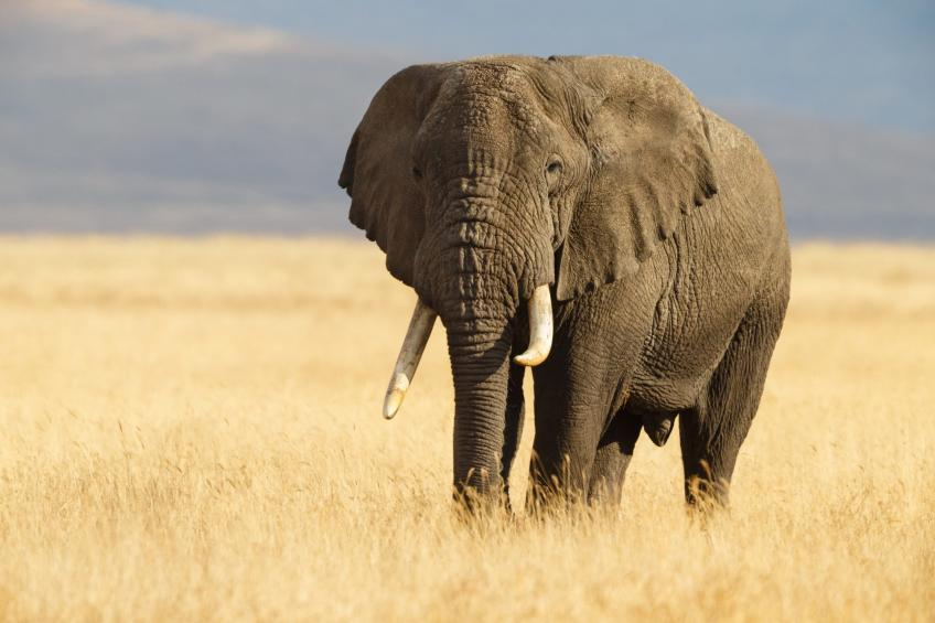 130,000 elephants at risk for the construction of oil wells