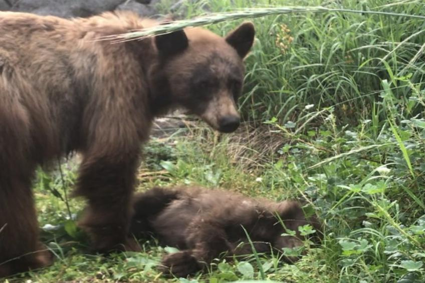 Yosemite: mom keeps watch for hours its cub killed by a car